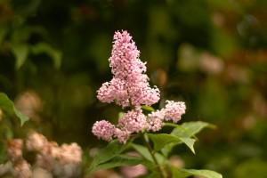 Kesäinen kukka pihalta